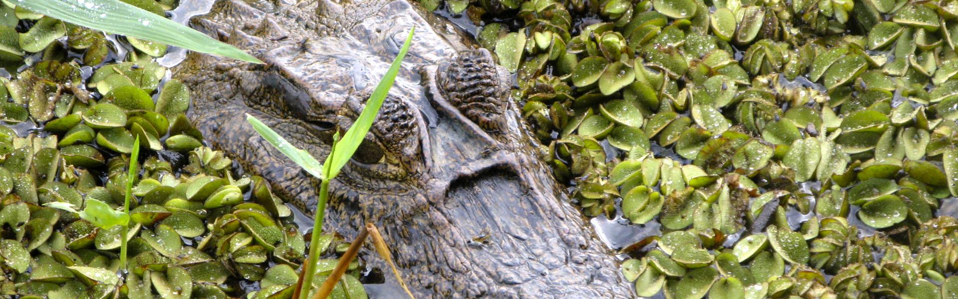 Viajes a Centroamérica e Islas del Caribe con Viajes Ikertanoa, todo el asesoramiento y la información necesaria para viajar independiente y diferente. Fotografía de caimán en Tortuguero, Costa Rica.