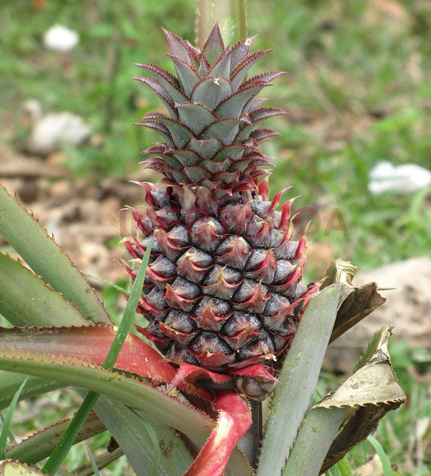 Cultivos de piña en Viñales