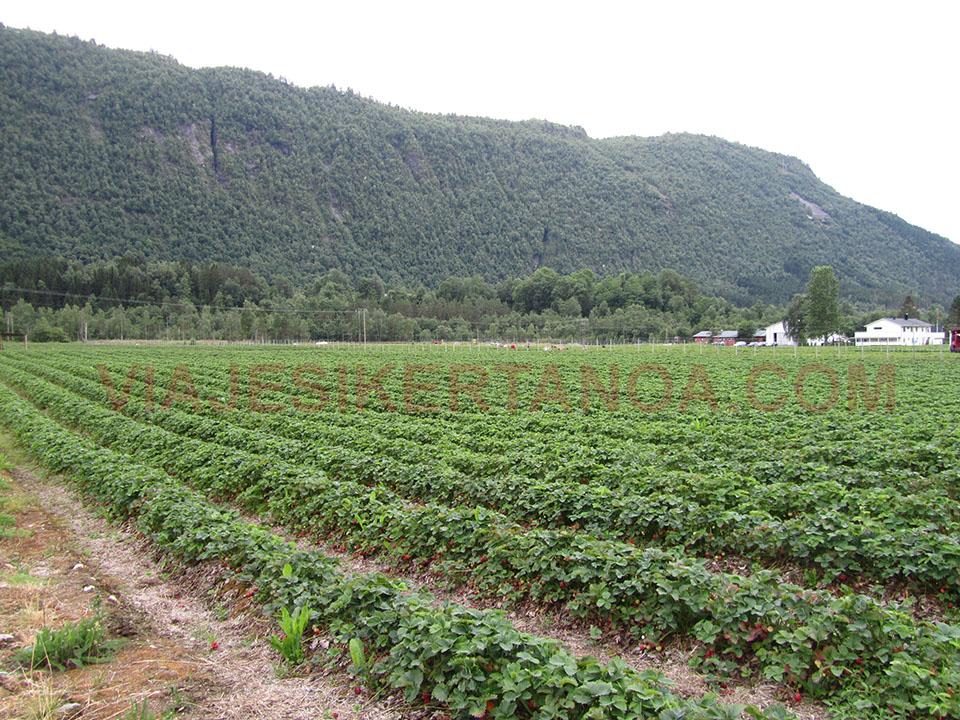 Campos de fresas camino de Linge en Noruega.