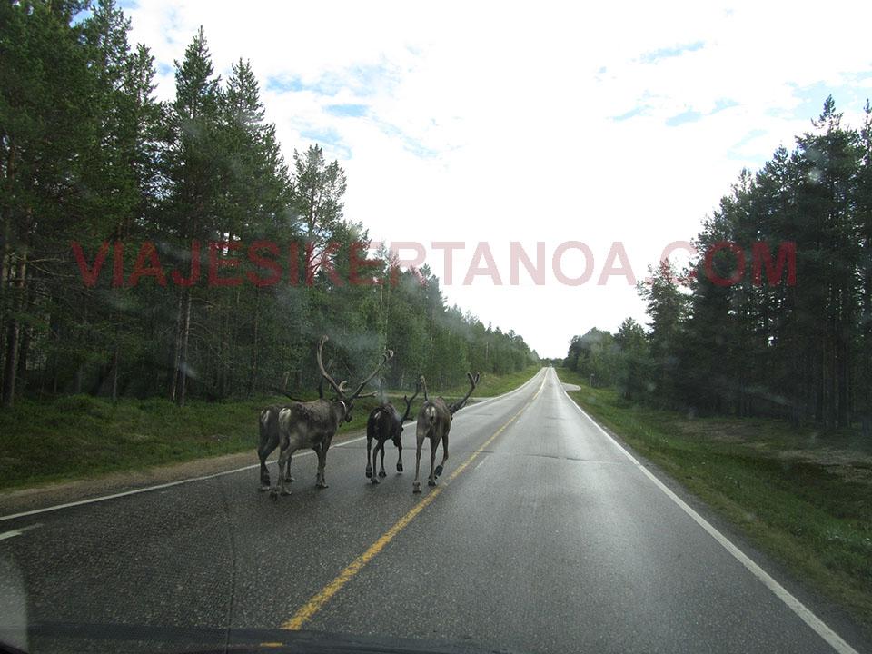 Renos en medio de la carretera en Finlandia.
