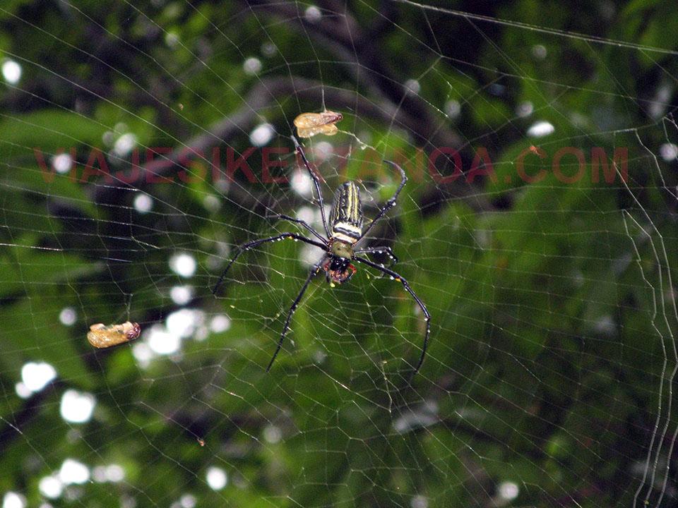 Arañas en Siem Reap en Camboya.