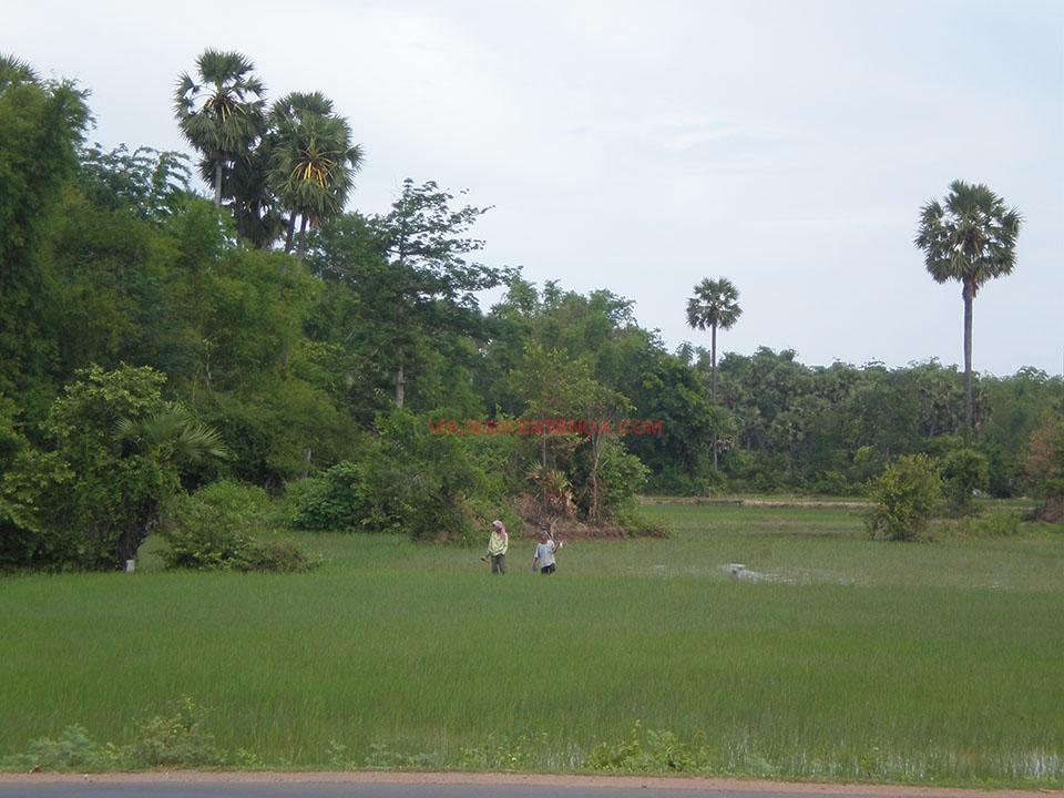 Campesino en los arrozales en Pursat, Camboya.