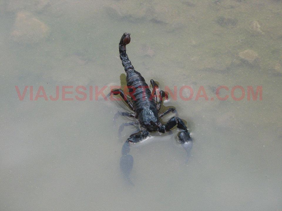 Escorpión camuflándose en medio de la ciudad de Battambang en Camboya.