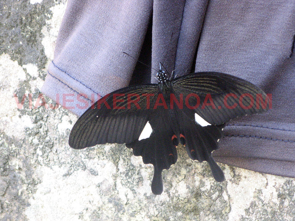 Mariposas gigantes en Laos.