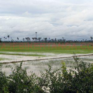 Arrozales de camino a Siem Reap en Camboya.