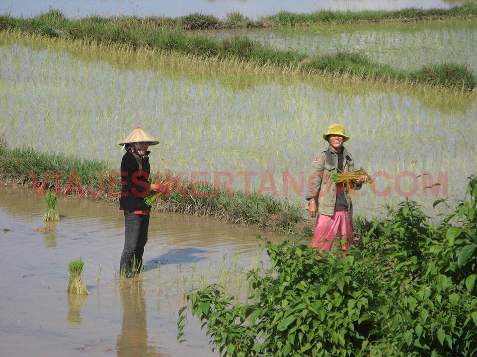 Recogiendo la cosecha de arroz en Laos.