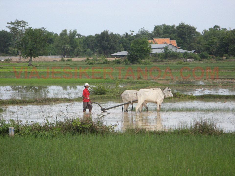 Campesinos trabajando en el campo en Camboya.