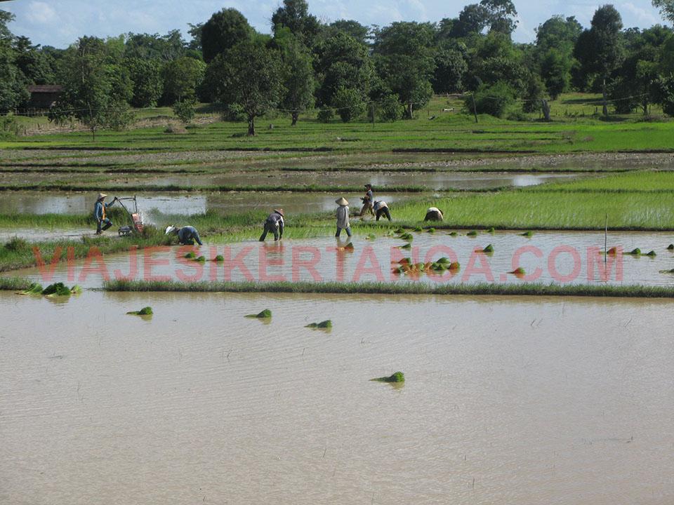 Trabajando en los arrozales camino de Vientián en Laos.