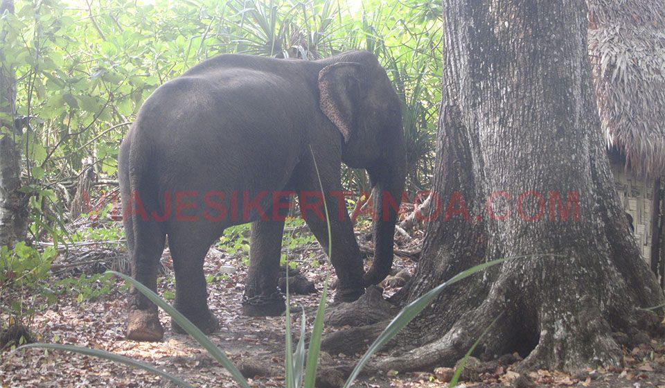 Elefante en la isla de Havelock en las Islas Andamán, India.