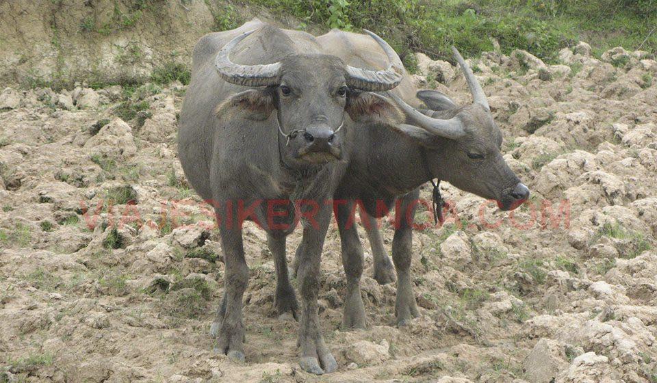 Búfalos de agua en Don Det, Laos.