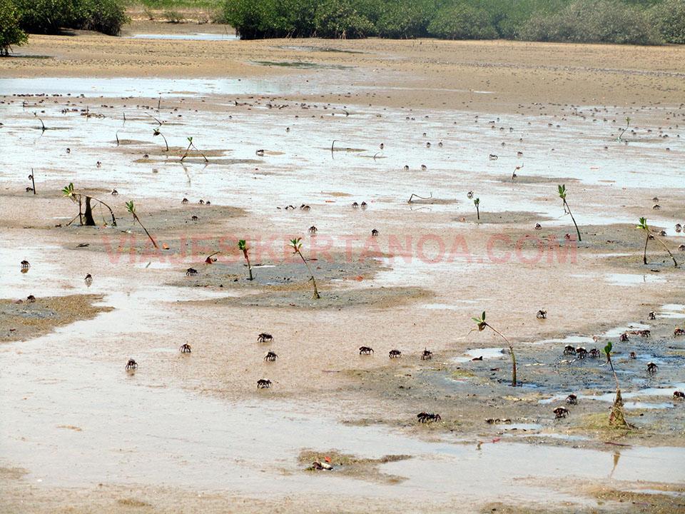 Cangrejos a lo largo de los manglares en Joal - Fadiouth, Senegal