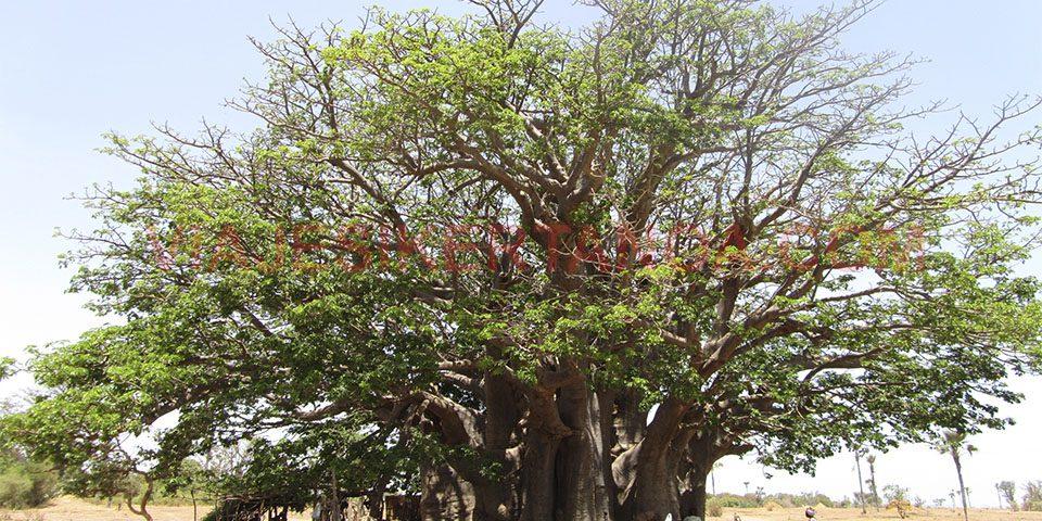 El gran baobab sagrado en Joal-Fadiouth, Senegal