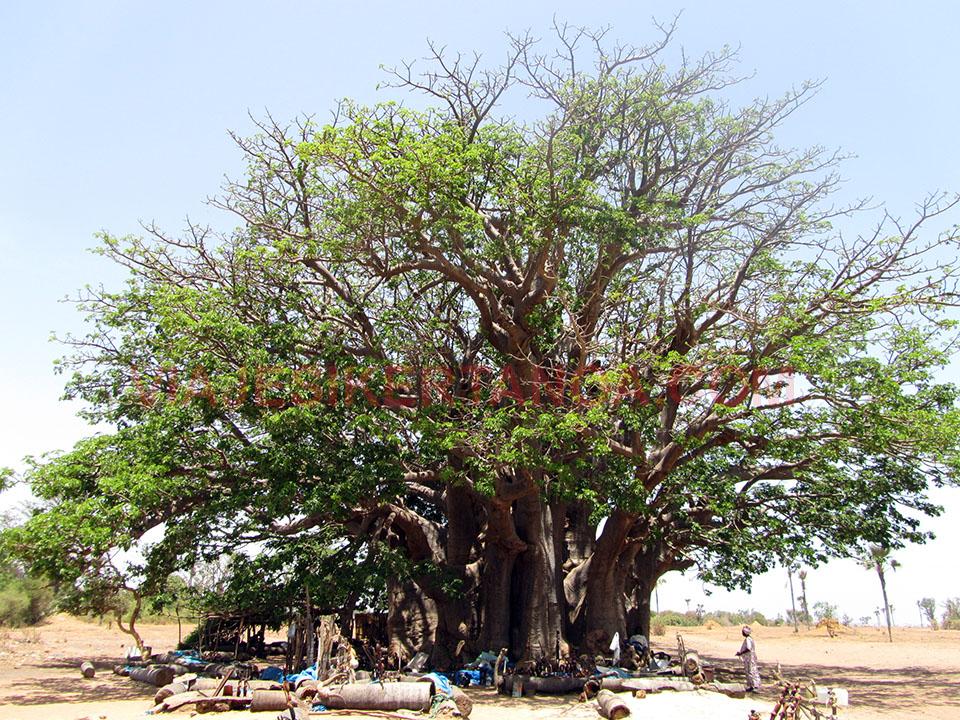 El gran baobab sagrado en Senegal.