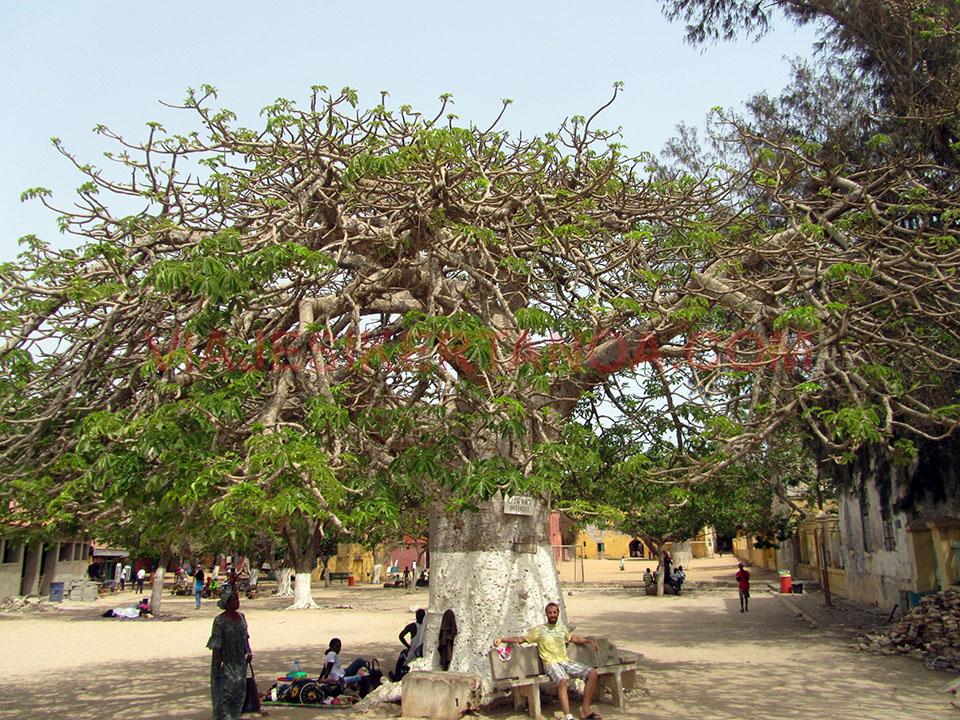 Enorme baobab en el medio de la plaza del pueblo en la isla de Gorée en Senegal