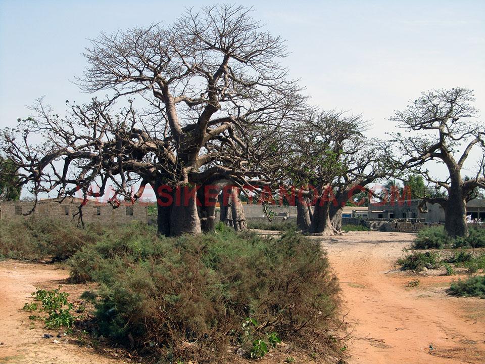 Preciosos baobabs en Palmarín, Senegal