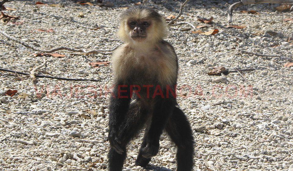 Monos en el Parque Nacional de Cahuita en Costa Rica
