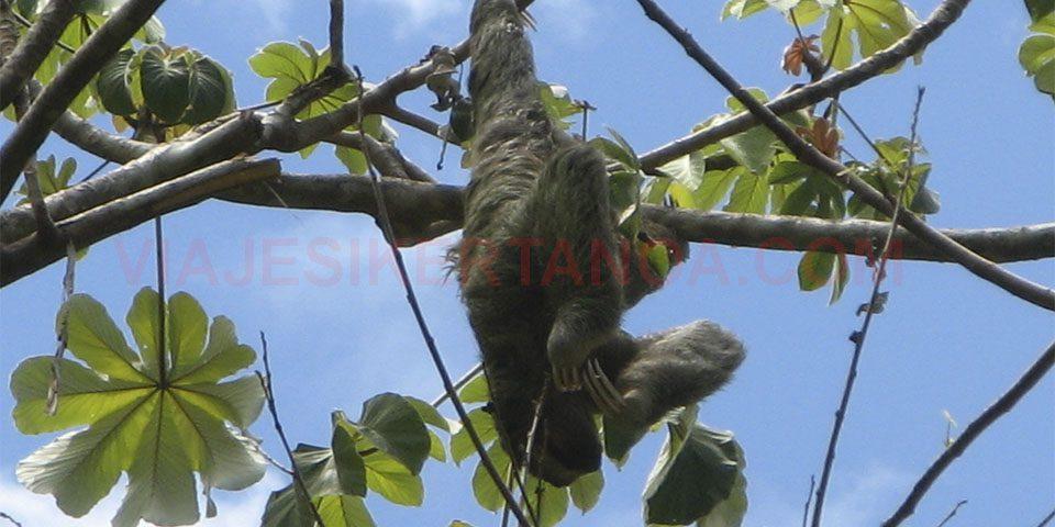 Un perezoso en el P.N. Manuel Antonio en Costa Rica