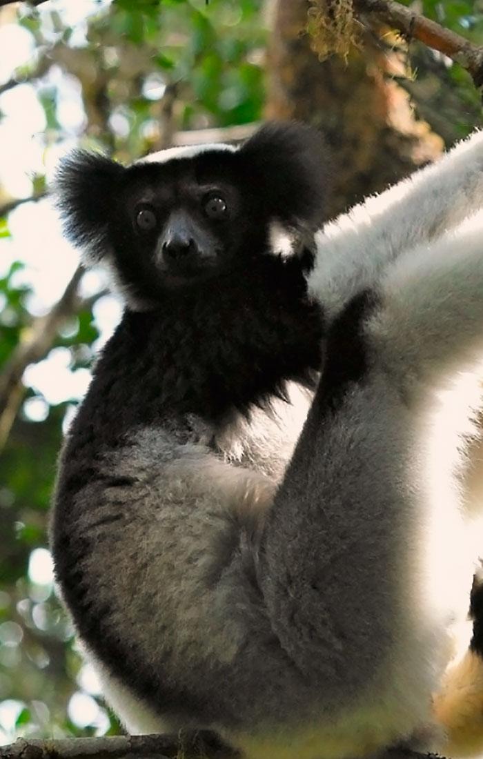 viajesamadagascar-el-gran-lemur-viajes-ikertanoa